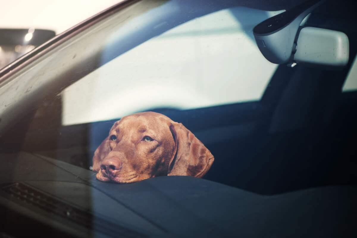 Sad looking tan dog in car