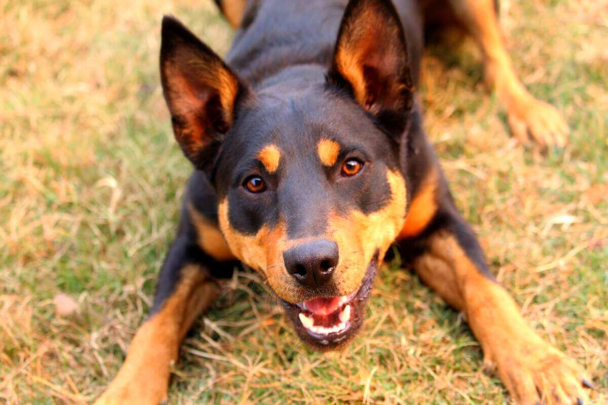 Play bowing cattle dog