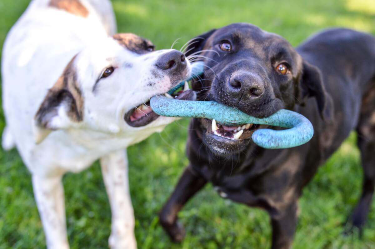 Two dogs playing with a toy